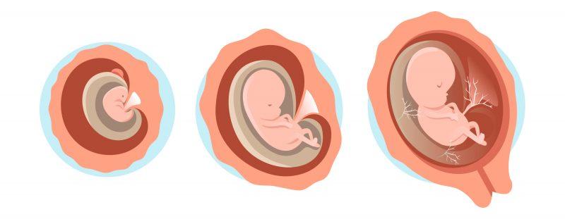 Développement du fœtus 1er trimestre de grossesse